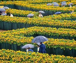 girassois, girassol, and sunflower image