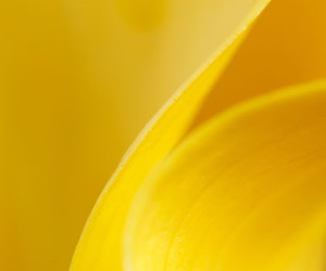 flowers, calla lily, and yellow image