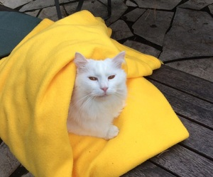 cat, pale, and yellow image