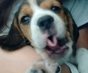 animals, beagle, and puppy image