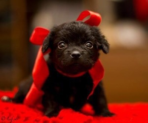 puppy, red bow, and cute image