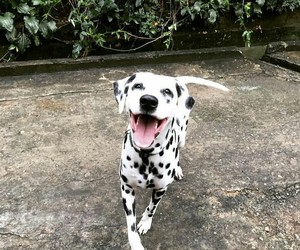 adorable, dalmatian, and dogs image