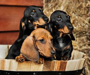 animal, dog, and dachshund image