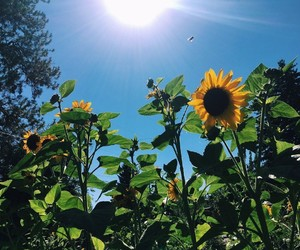nature, sunflower, and flowers image