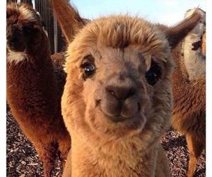 alpaca and animal image