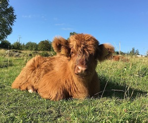 adorable, animals, and calf image