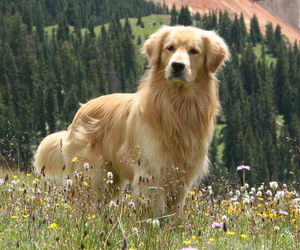 dogs, animal, and golden retriever image