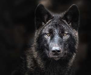 dog, photography, and wolf image
