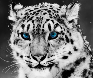 blue, snow leopard, and eyes image