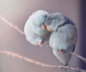 birds, bluebird, and love image