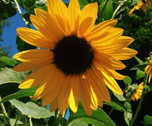 sunflower, flowers, and blue sky image