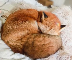 animal, pet, and fox image