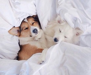 animals, bed, and husky image
