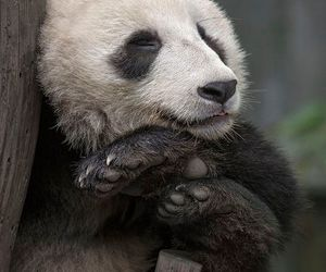 animals, bears, and black and white image