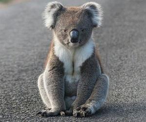 Koala and cute image