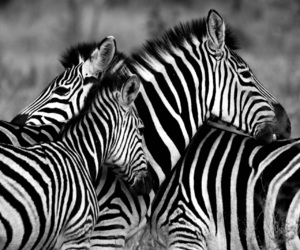 animal, nature, and striped image