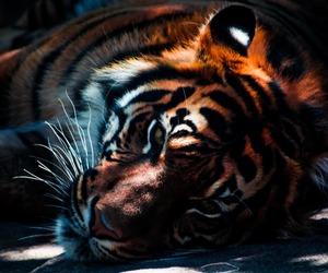 animals, tiger, and big cat image