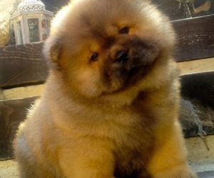 dog and chow chow image