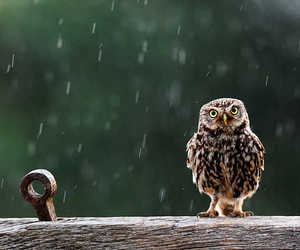 bird, little owl, and owl image