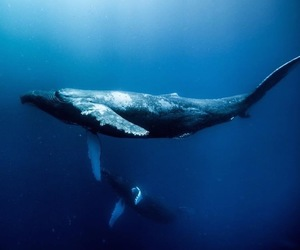 ocean, underwater, and bluewhale image