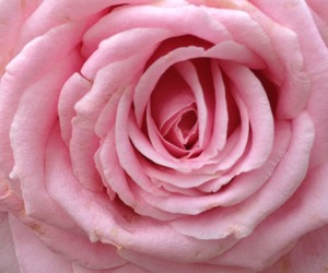 pink, flower, and rose image
