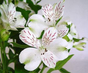 flores and alstroemeria aurantiaca image