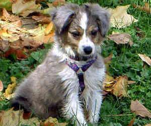 adorable, animal, and australian shepherd image
