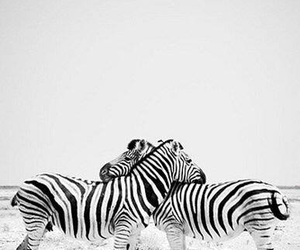 zebra, animal, and love image