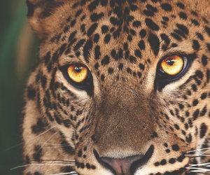 animal, eyes, and leopard image