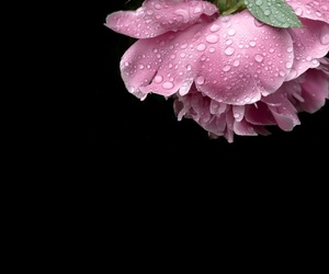 flora, flowers, and pink rose image