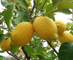 lemon and lemons image