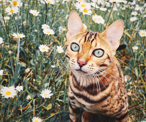 animal and bengal cat image