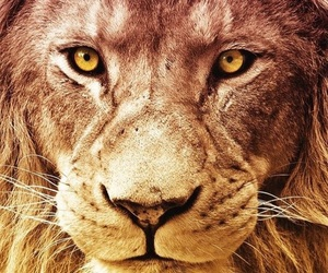 animal, wallpaper, and lion image