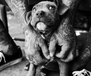 pitbull, puppy, and pitpup image
