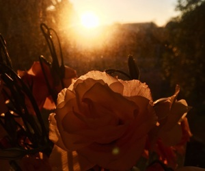 flower, rose, and sunset image