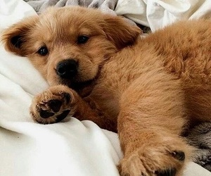 golden retriever, puppy, and animals image