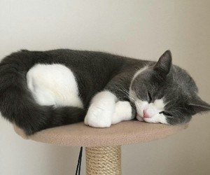 animals, cat, and grey image