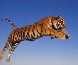 tiger, animal, and sky image