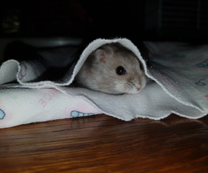 adorable, hamster, and animals image