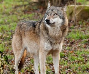 Animales, wolfs, and lobos image