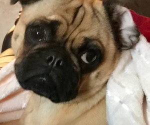 dogs, photograph, and pugs image