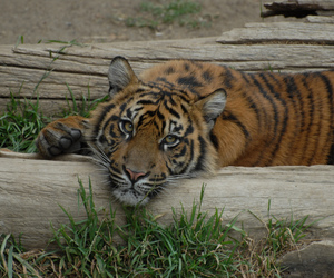 cub, tiger, and tigre image