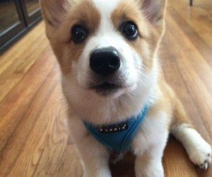 adorable, animals, and corgi image