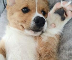 adorable, animals, and corgi image