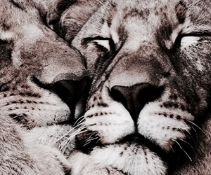 aesthetic, animals, and lions image