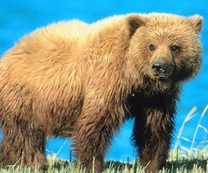 Grizzly Bear - Key Facts, Information & Pictures