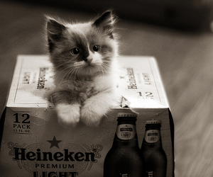 cat, cute, and heineken image