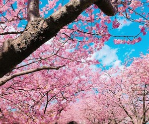 blossom, cherry, and cherry tree image