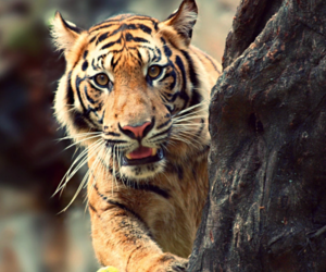 animals, tiger, and jungle image