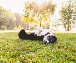 border collie, dog, and grass image